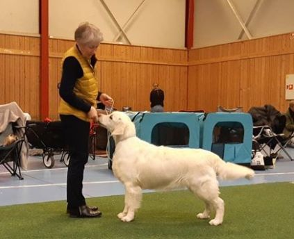 Sunrunner Showstopper udstilling Anette Nygaard Sørensen Kennel golden retriever