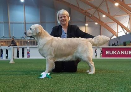 Kennel sunrunner Sugarboom av vervik anette nygaard sørensen golden retriever udstilling