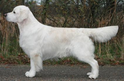 Jackson Man In The Mirror Av vervik Golden retriever Champion Juniorvinder Anette Nygaard Sørensen Kennel Sunrunner